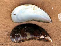 Image of Perna viridis (Asian brown mussel)